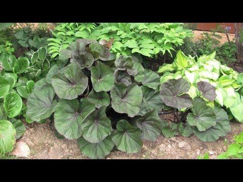 Растения для тени.  Часть 1.  Бруннера и медуница