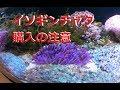 【海水水槽】安くて比較的丈夫なイソギンチャク! の動画、YouTube動画。
