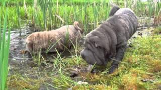 Sharpei Dogs Enjoying The Water