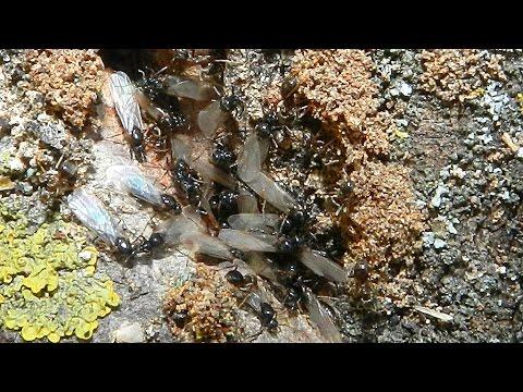 Муравьи с крыльями. Видео с насекомыми. Летающие муравьи. Самки муравьев