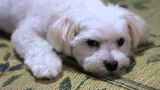 親戚の家に行ったら夏の暑さ対策なのか小型犬のマルチーズの毛が短くカ...