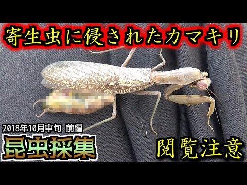 【カマキリ・ハリガネムシ】昆虫採集 2018年10月中旬 前編「ハリガネムシに侵された褐色型ハラビロカマキリ」