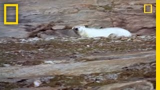 Polar Bear vs. Polar Bear: Food Snatch | National Geographic