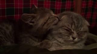 Милые смешные коты. Милые котята британской и шотландской породы. Животные