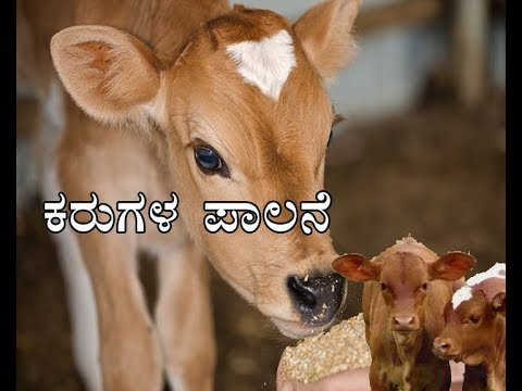 """""""Information on care of calves"""" """"ಕರುಗಳ ಪಾಲನೆ""""-16-05-2018-at 1.30 pm"""