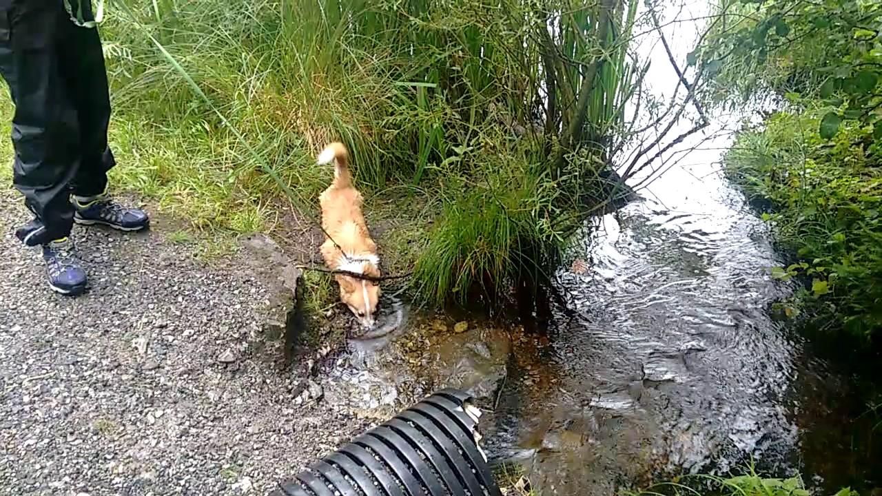 CORGI DOG. THE RIVER   IggyPopTheCorgi