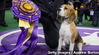 Beagle Miss P Wins Best In Show At Westminster Dog Show