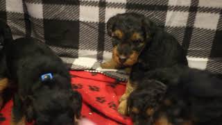 Rita's 11/28/20 Welsh Terrier Puppies 5 weeks old