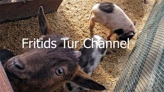 Petting Zoo for children - Feeding Piglets and Goats - Cute Animals Mini Pigs for Kids