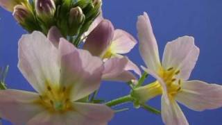 Bach Flower Remedies - Water Violet