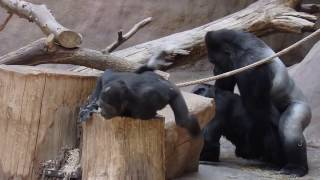 ZOO Prague - Gorillas - Kamba and Richard have sex again and Nuru feels interest in them