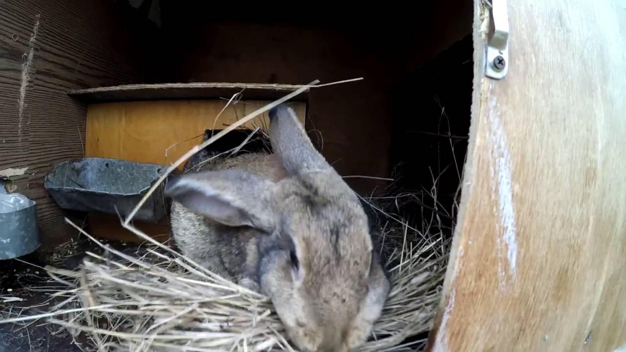 Смотреть как крольчиха делает гнездо