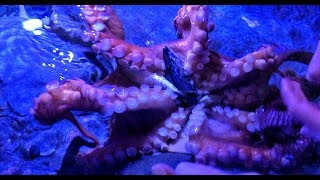 Playing with a Giant Pacific Octopus at Aquarium of the Pacific! OctoNation Octopus Fan Club