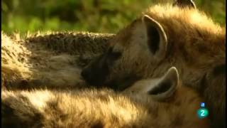 Grandes documentales La hiena, la reina del Masai Mara