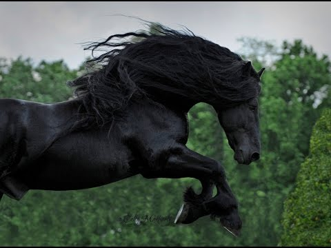 WATCH AND BE CAPTIVATED FRIESIAN STALLION FREDERIK THE GREAT