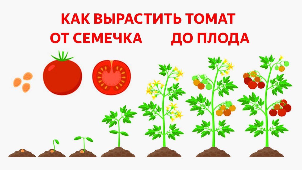 только этапы выращивания помидоров в картинках пришедшие