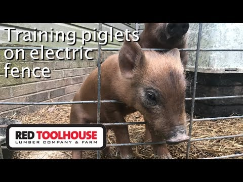 EP128: How We Train Our Pigs To Electric Fence