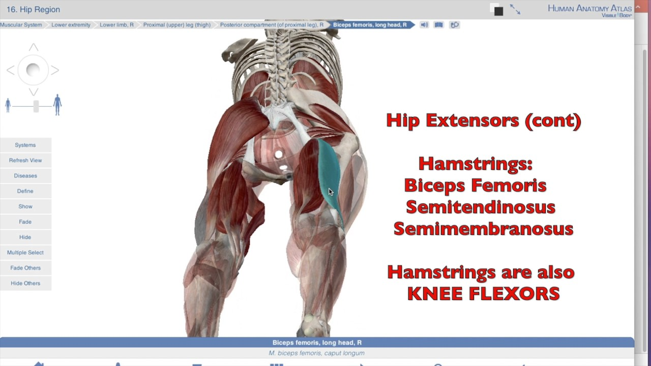 Muscles Of The Hip Joint Ii Posterior Extensors Youtube