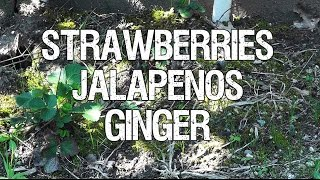 Strawberries Jalapeno And Ginger Update