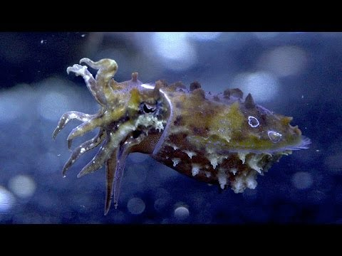 Caring For Cuttlefish