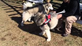 先日マザー牧場で姉妹犬ラムちゃんと遊んできた時 まぁ走らない走らないw.
