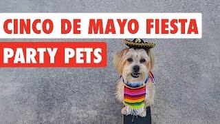 Cinco De Mayo | Fiesta Party Pets Video Compilation 2017