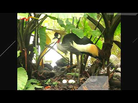 Bali Bird Park - Crowned Crane dance