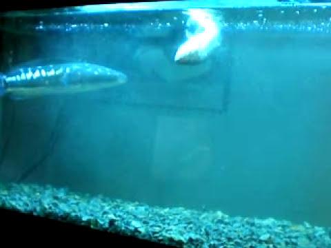 snakehead vs kills Big ass 10 inch bass