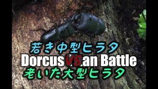 若いヒラタVS老いたヒラタのクワガタバトル!/Dorcus Titans Battle thumbnail