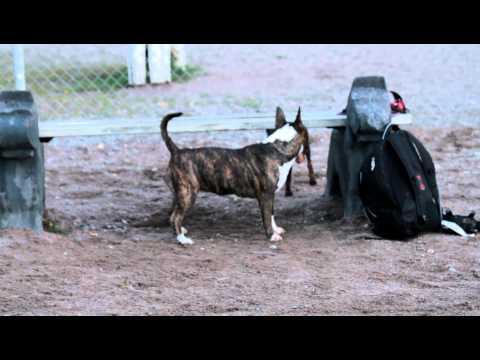 Manchester Terrier and Bull Terrier
