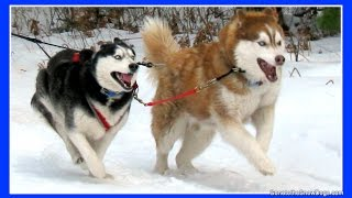 2010 Thunder Bay Classic Sled Dog Races Siberian Husky Mush M.U.S.H. Dog Sledding thumbnail