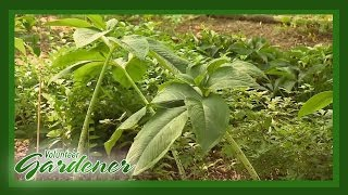 Shade Perennials | Volunteer Gardener