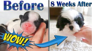 Shih Tzu Puppies Before and After Growing Up  Week by Week