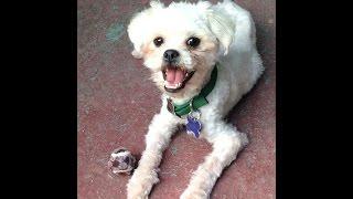 Maltese-puppy-11m-neutered-male-gamble-kenmarrescue-8-3-14