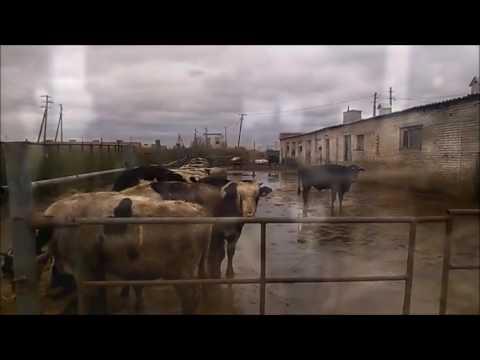 Продам крс бычки и телки 1,5 года говядина – купить в