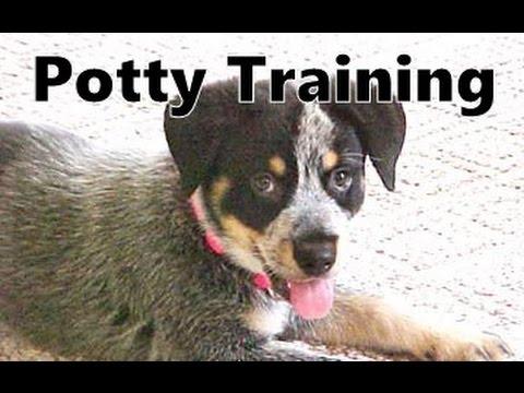 How To Potty Train A Hall's Heeler Puppy - Halls Heeler House Training Tips - Hall's Heeler Puppies