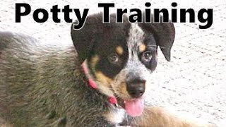 How To Potty Train A Hall's Heeler Puppy - Halls Heeler House Training Tips - Hall's Heeler Puppies
