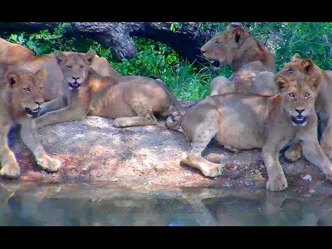Природа Африки Заповедник Naledi 13 ! львов - подростков жадно глотают воду Котята всюду одинаковы