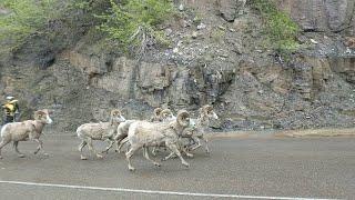 Sharing the Road with Sheep || ViralHog