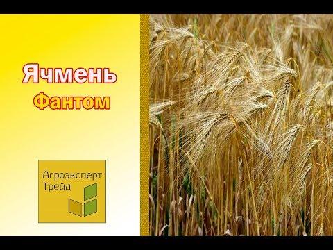 Озимый Канадский ячмень Фантом 🌾 - описание сорта 🌾 - семена в Украине
