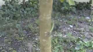 kỳ tôm né trốn rất tài. Physignathus cocincinus