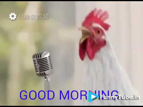 Chickens Singing Good Morning Song Funny Youtube