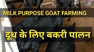 दूध के लिए बकरी पालन (MILK PURPOSE GOAT FARMING)