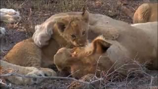 Safari Live : Nkuhuma Lionesses,Cubs and a Birmingham Boy Aug 18, 2016 thumbnail
