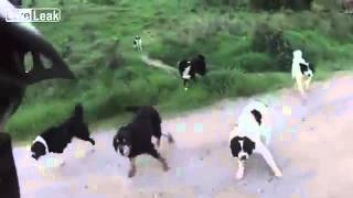Свора собак напала на велосипедиста / Pack of dogs surround cyclist(owners arrive just in time and cyclist vents his anger!, 2012-10-17T16:34:51.000Z)