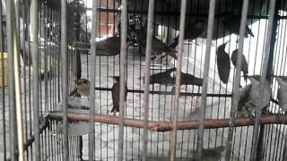 Cara Pilih Burung Cucak Kombo Jantan