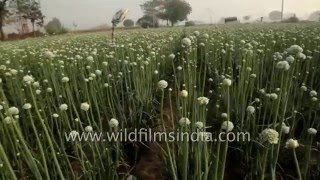 Onion fields in north India
