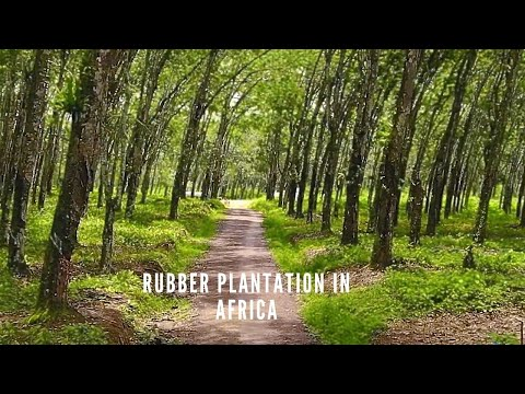 Liberia Mega Rubber Plantation | Rubber Farm in Africa | Liberia West Africa | #RUBBER