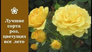 видео Самые красивые и популярные сорта роз