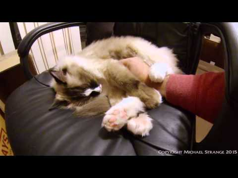 Ragdoll Cats Are Floppy Cats - PoathTV Cat Video - PoathCats